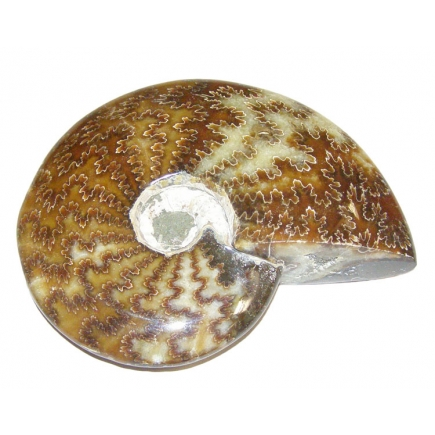 Ammonite Polished Piece 500-600g