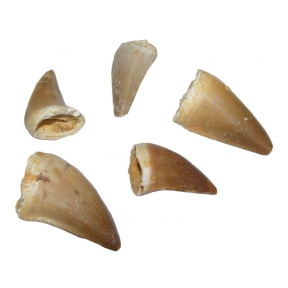 Mosasarus Teeth